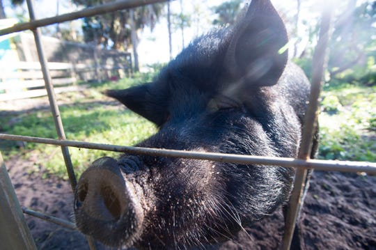 """Tulip, a 300-pound pig, is settling into her new Palm City home, a 50-acre piece of property owned by Marcia Coker. """"It's amazing how you can get so close to animals,"""" said Coker, who houses a variety of creatures on her property. Coker's daughter, Aubree, 11, also enjoys playing with the animals and contributing to their well-being. """"She'll be happy,"""" she said."""