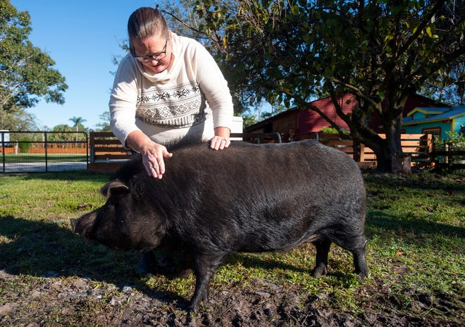 """Tulip, she's really smart,"" said Marcia Coker of her newest animal rescue, a 300-pound pig, seen Tuesday, Dec. 18, 2018, at Coker's 50-acre property in Palm City. Tulip was rescued by Coker from the Humane Society of the Treasure Coast and joined an array of other animals living on her property, including two other pigs, four goats, five horses, 30 cows, five dogs, 183 chickens, plus barn cats, geese and ducks. ""(The Humane Society) was taking great care of her, but it wasn't the place for her,"" Coker said. ""I'm lucky I can (take her in) and we're not going anywhere."""