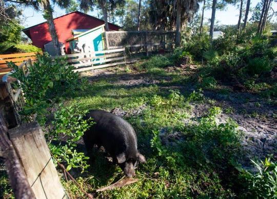 After being picked up by Martin County Animal Control and delivered to the Humane Society of the Treasure Coast in April, Tulip, a 300-pound pig, seen Tuesday, Dec. 18, 2018, is now living in luxury at Marcia Coker's 50-acre property in Palm City, with plenty of produce and pellets to eat. The shelter has taken in 12 pigs and nine chickens in 2018.