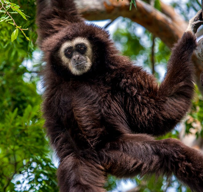In this undated photo, Nikko, a 35-year-old white-handed gibbon, is seen at the Oakland Zoo. The elderly gibbon, recently transferred to the Santa Barbara Zoo, died unexpectedly.