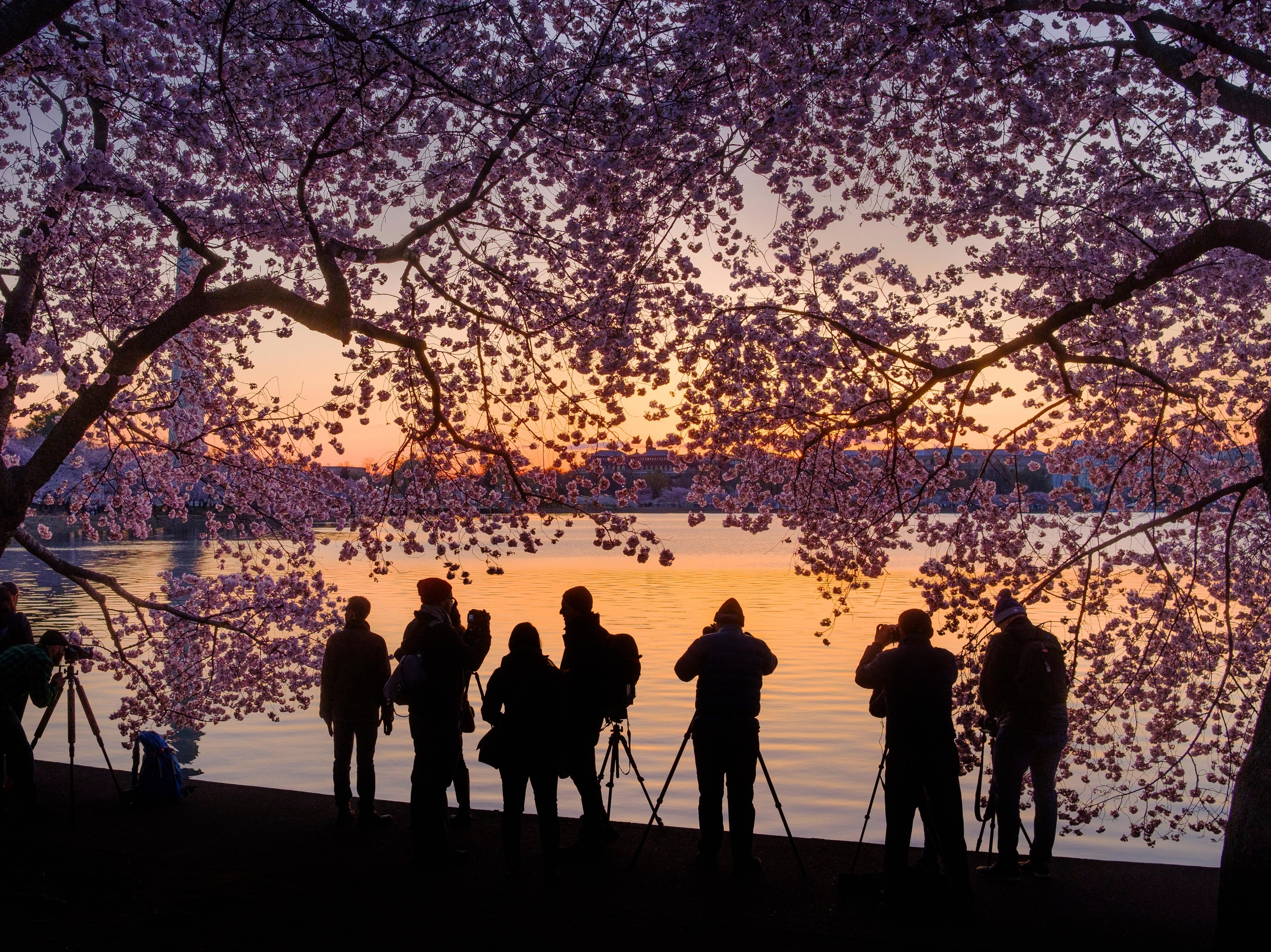 April 5, 2018: Photographers line up along the edge of the Tidal Basin in Washington to shoot the blossoming cherry trees at sunrise.