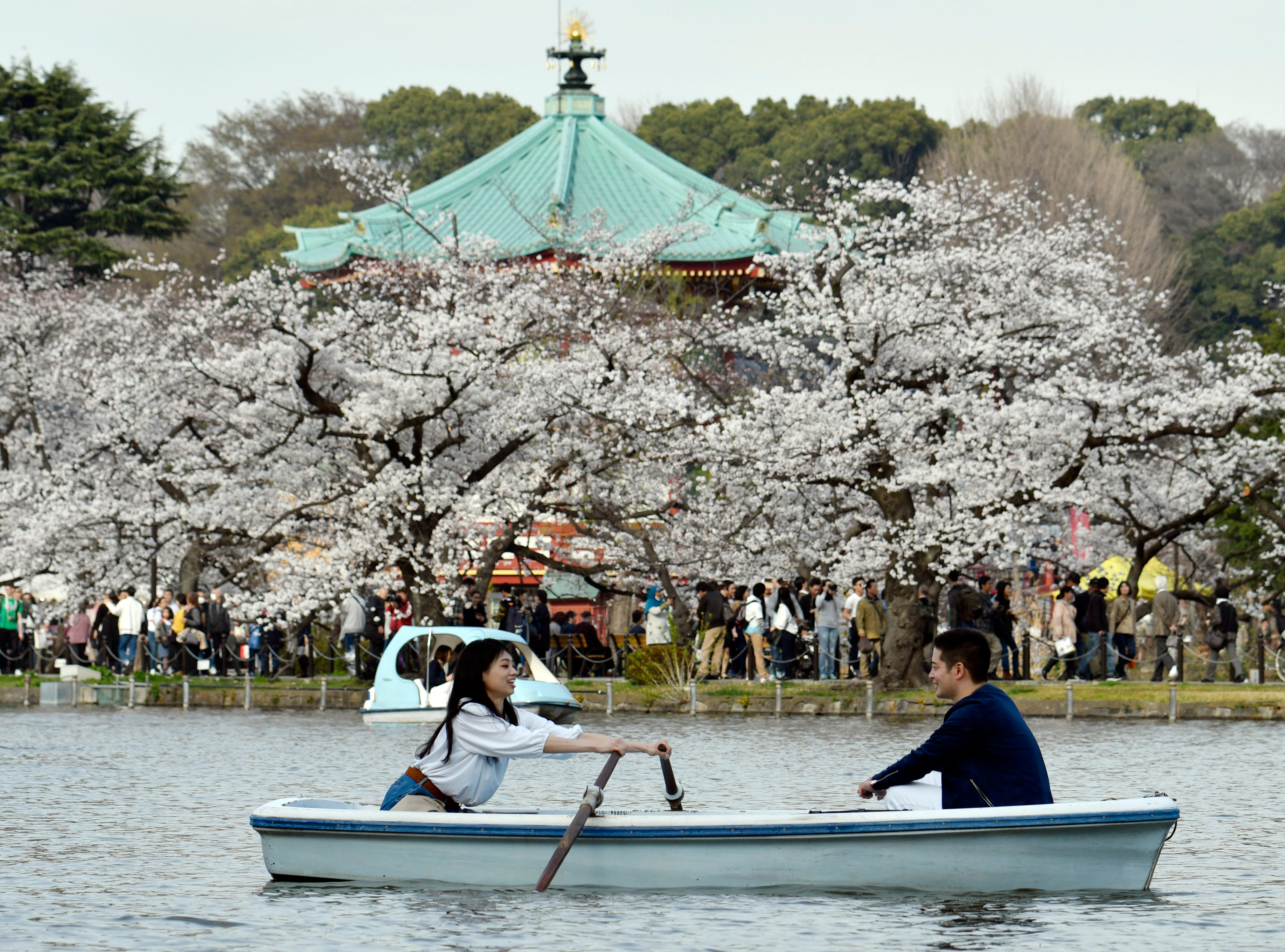 March 26, 2018: Visitors row a boat as cherry blossoms are seen in full bloom seen at Ueno Park in Tokyo.