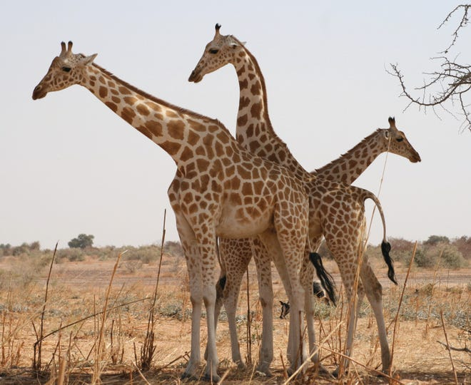Giraffes are one of the species most at risk by new regulations from the Trump administration, an environmental group says.
