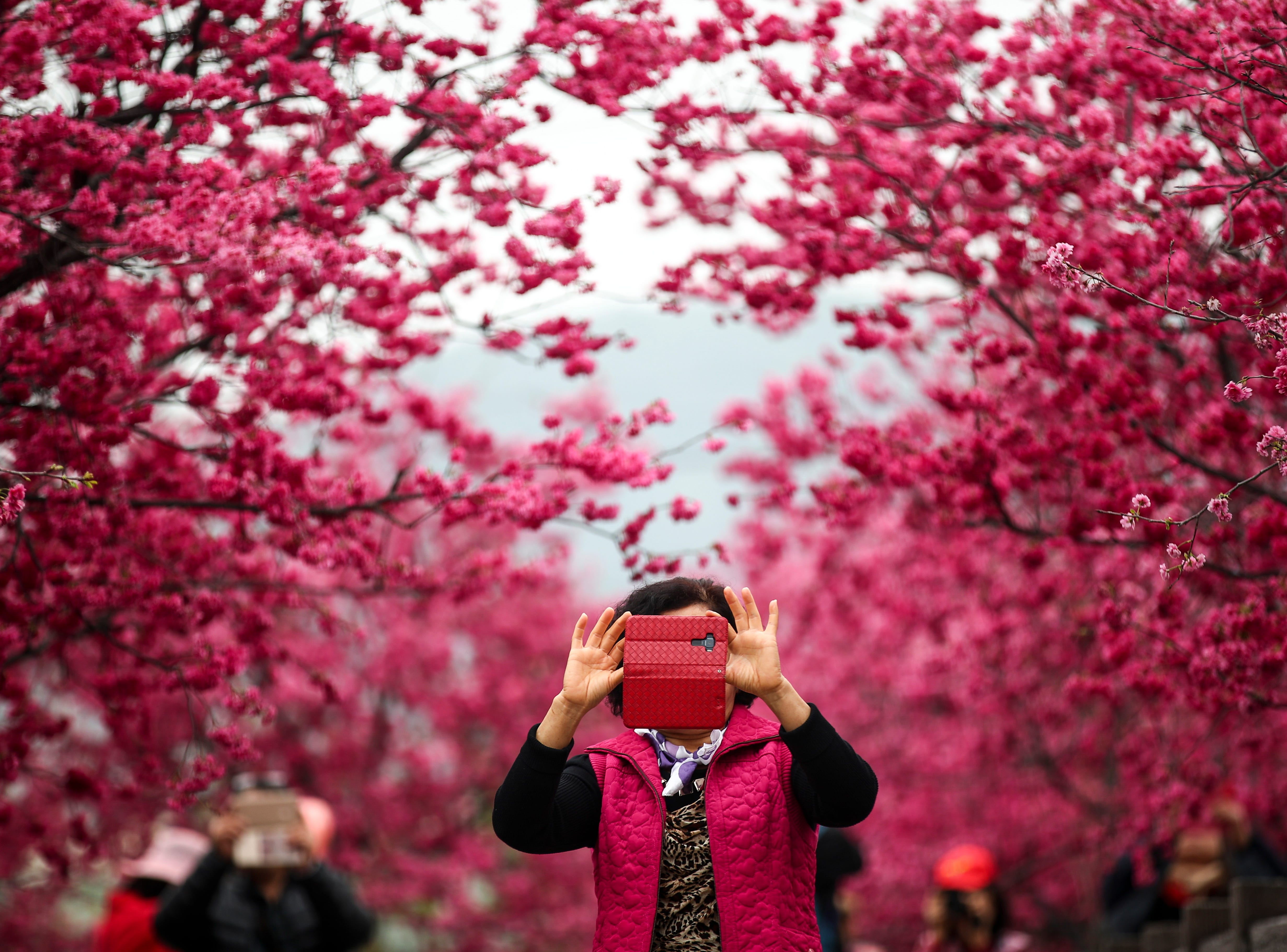 Feb. 27, 2018: A visitor takes a photo under cherry blossoms in Taichung, Taiwan.