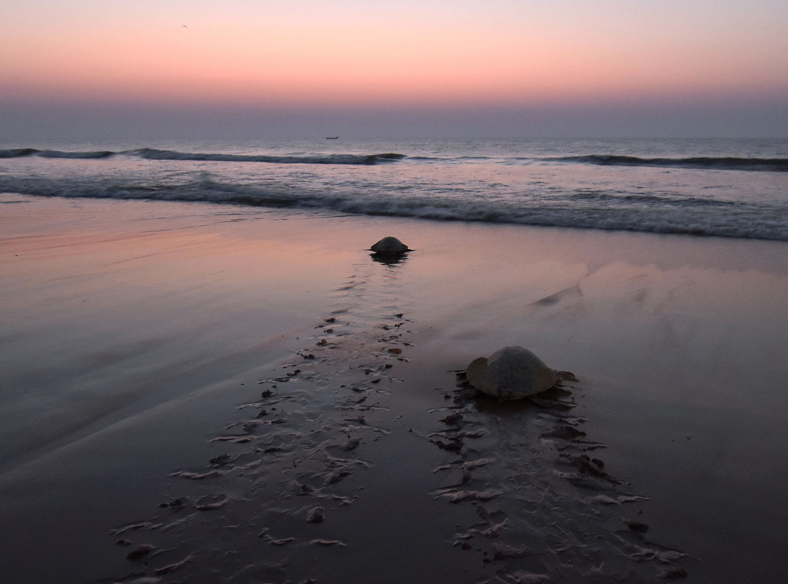 Feb. 23, 2018: Olive Ridley sea turtles return to the sea after laying eggs on Rushikulya Beach in India.