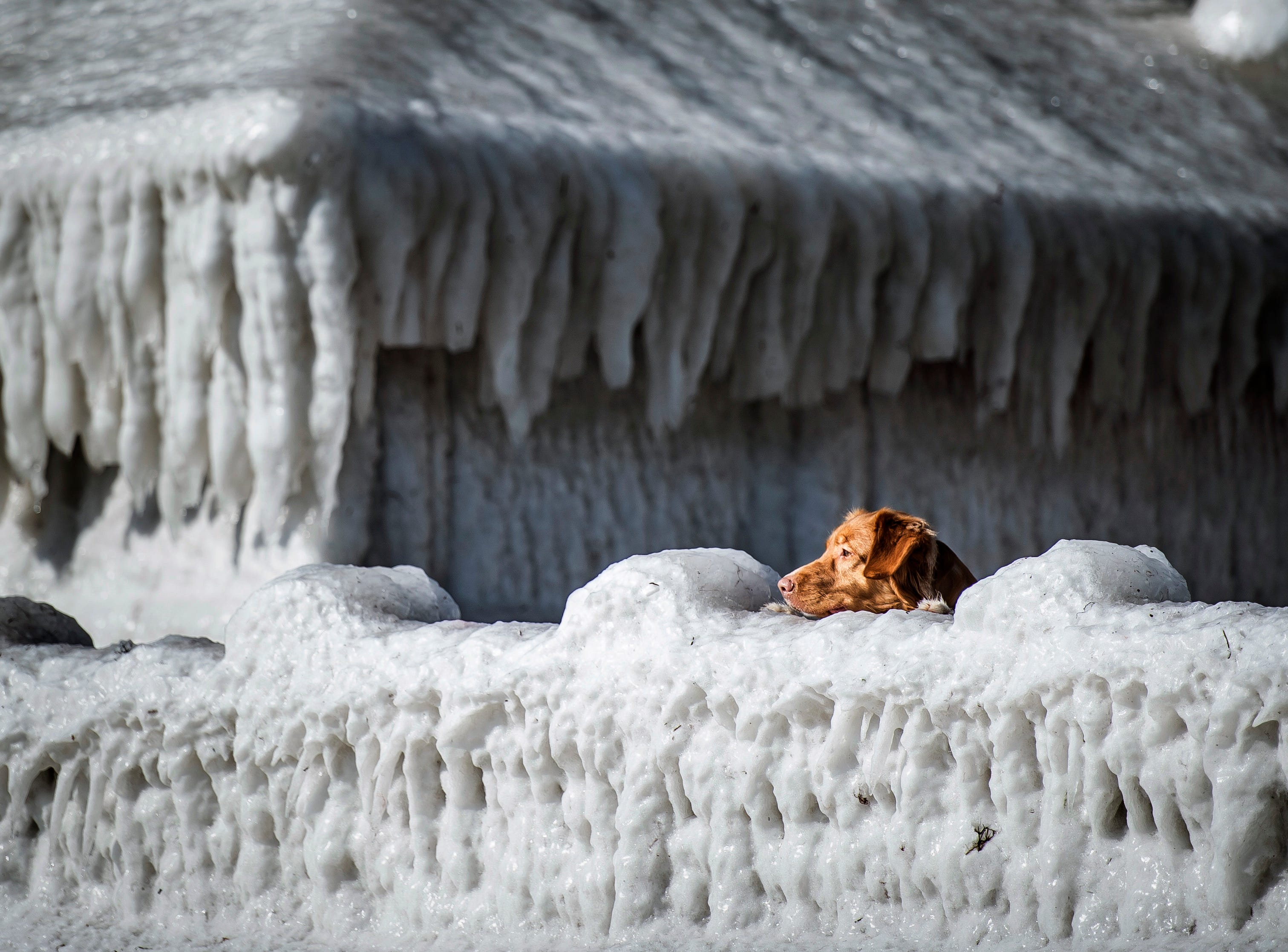 March 19, 2018: A dog looks over a wall in front of a house covered in ice, at Faxe Bay, South of Copenhagen, Denmark.