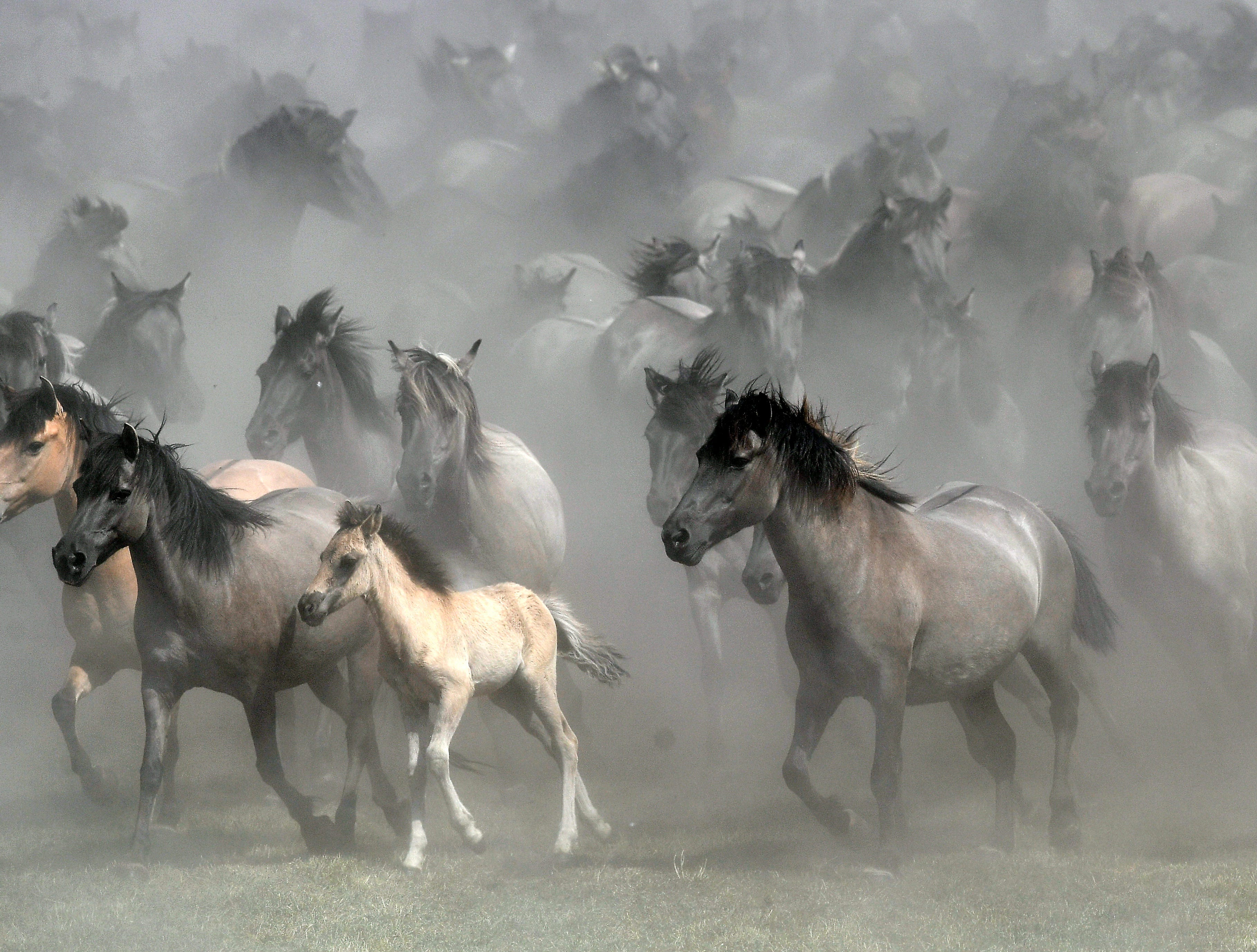 May 26, 2018: Wild horses raise dust in Duelmen, Germany, when they are driven together that young men can separate the young stallions from one of Europe's last herd of wild horses. About 400 native breed horses are left to find food and shelter, must cope with illness and death. Only once a year they have direct contact with humans when the young stallions are caught from the flock, that was first mentioned in chronicles 700 years ago.