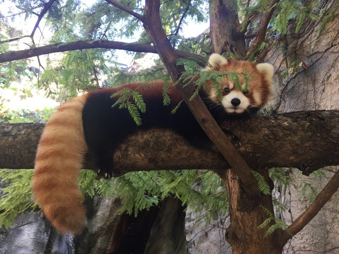 The red pandas Leafa, seen here, and Phoenix are the first species to be introduced as part of the WNC Nature Center's new Prehistoric Appalachia project.