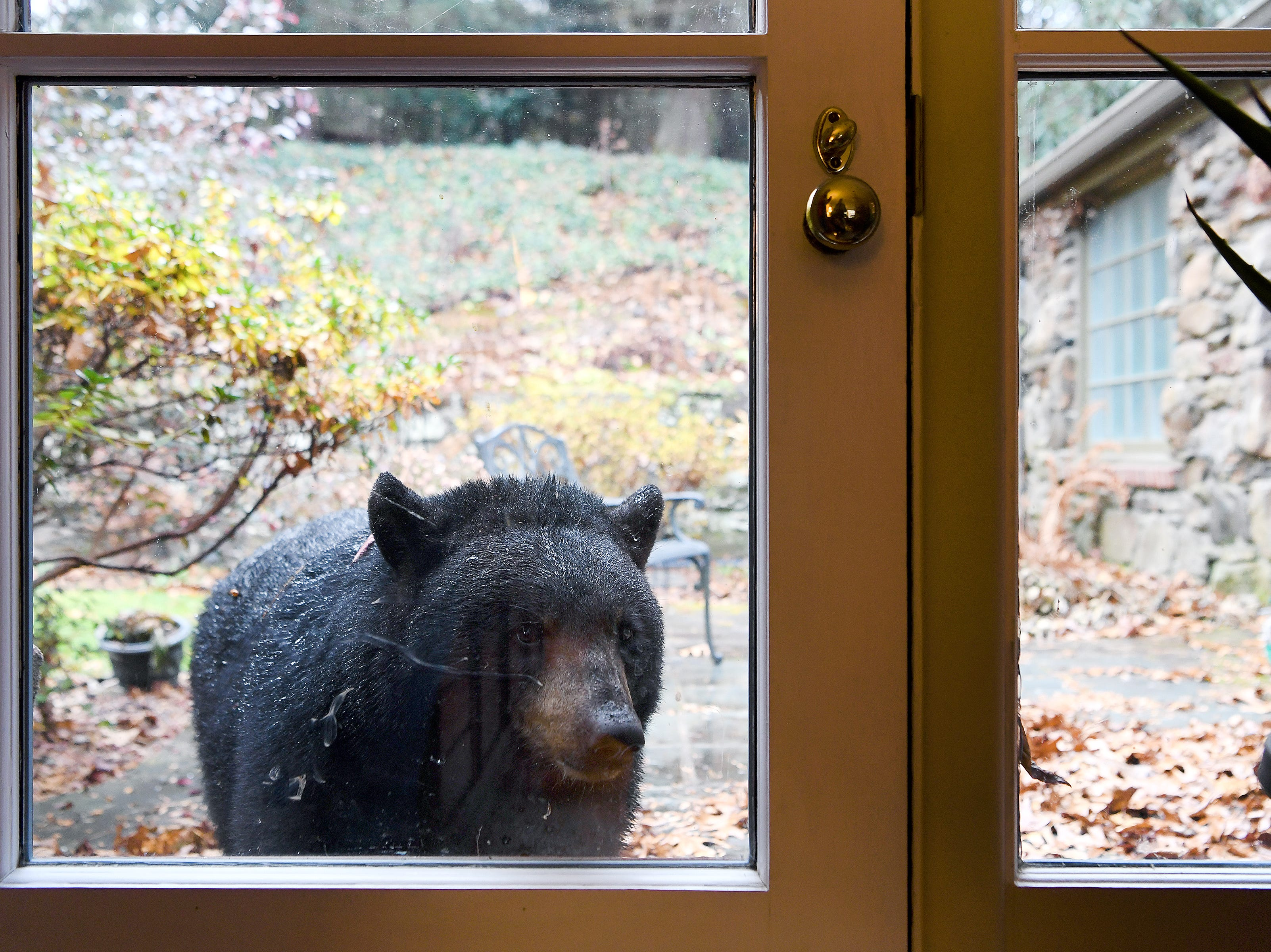 A black bear peeks through the patio door of Len Brinson's North Asheville home on Nov. 30, 2018. The bear made itself a spot to sleep and Brinson feared it would try to hibernate in his yard. He was eventually able to get the bear to leave by shining a floodlight overnight.