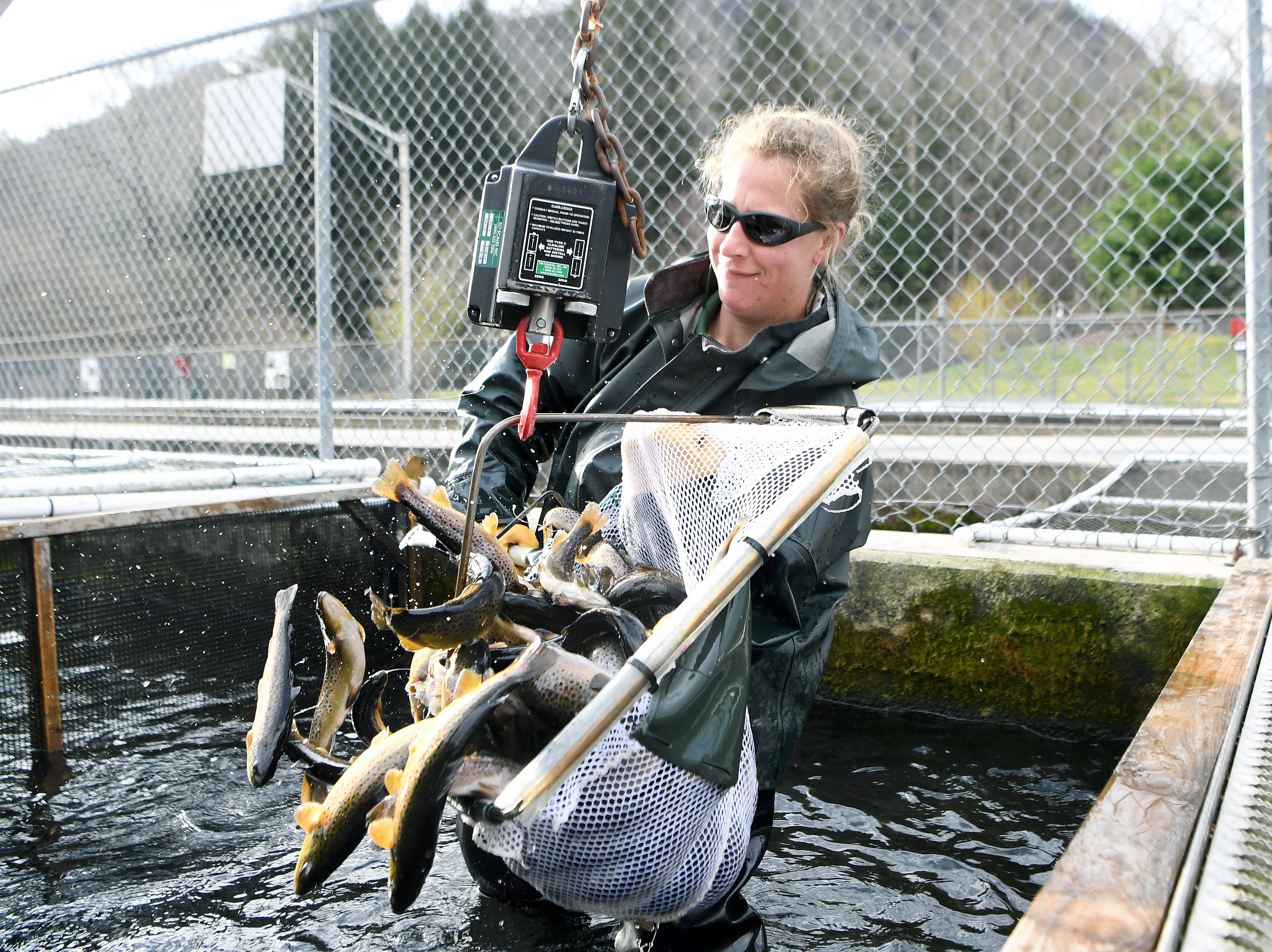 Jillian Osborne dumps a few fish back into the water from a net to get the needed measurement as she prepares the fish for transport at the Bobby N. Setzer State Fish Hatchery in the Pisgah National Forest on Wednesday, March 21, 2018.