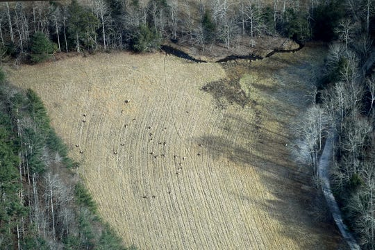 A herd of elk are seen along Cataloochee Entrance Road from the air on Dec. 6, 2018. Photo made possible by SouthWings.