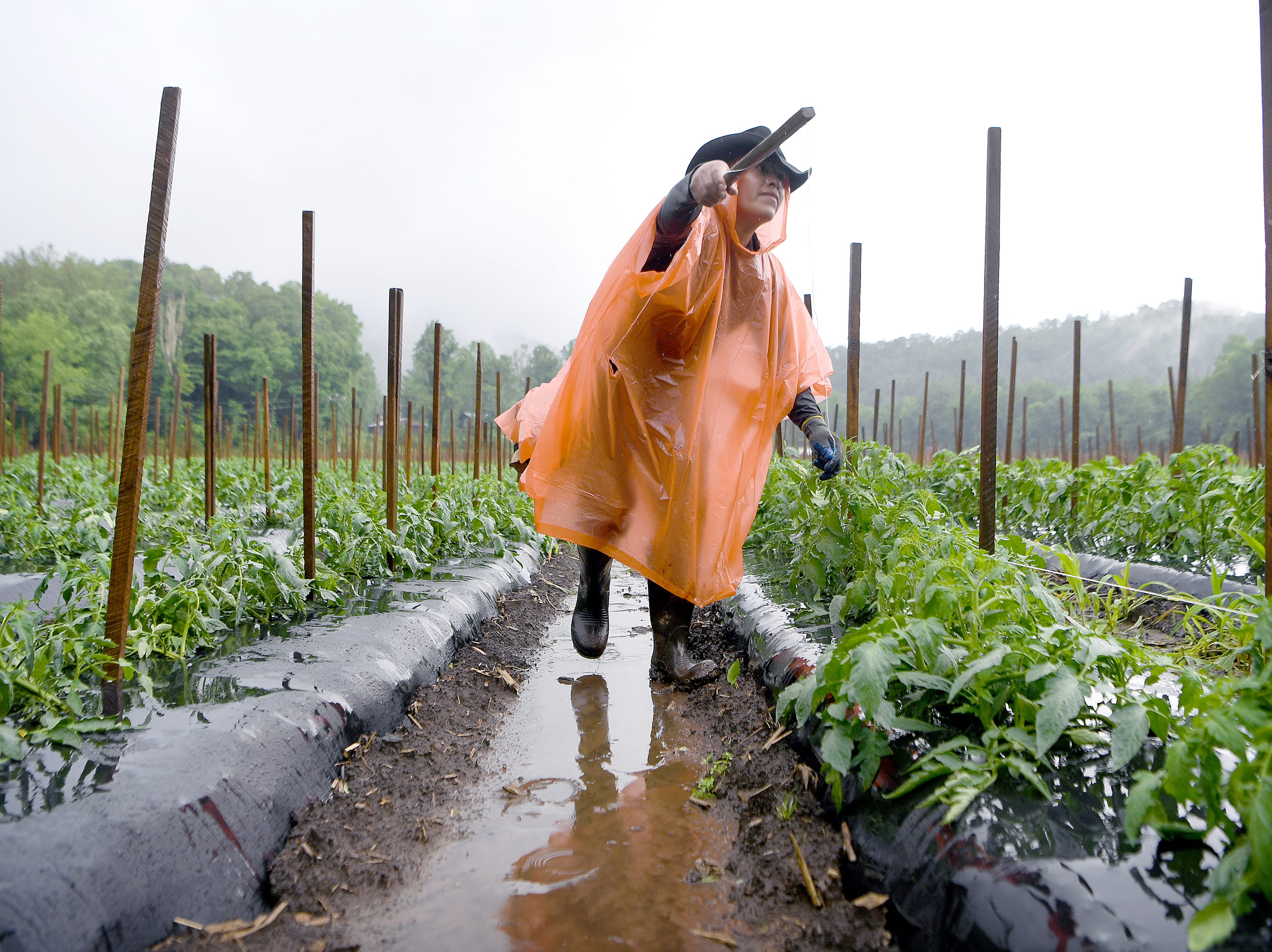 A farmhand ties string to posts to hold up tomato plants on one of Jason Davis, owner of North River Farms', fields in the pouring rain in Mills River on Wednesday, May 30, 2018. Davis said they normally would not work in the rain but consistent heavy rains and flooding has put farmers so far behind schedule they are doing what they can to catch up.