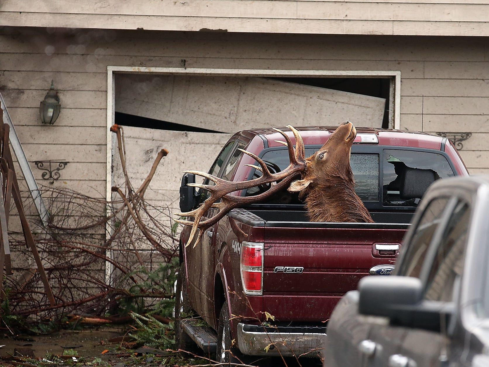 A taxidermy elk with high sentimental value to the Crain family awaits transport in a family vehicle at their home in Port Orchard on Wednesday, December 19, 2018. The elk mount was found in their neighbor's yard.