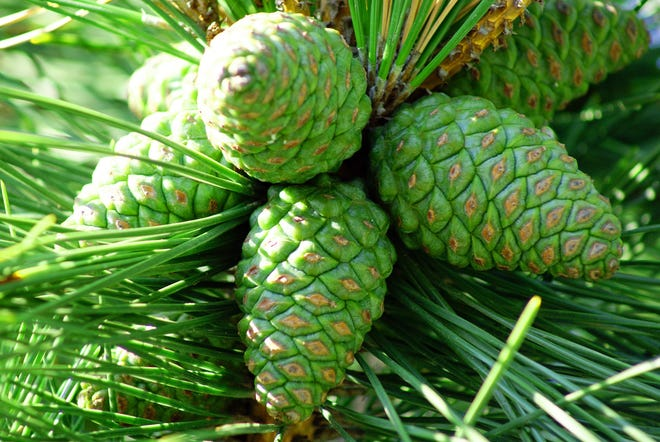 A group of pine cones in a tree