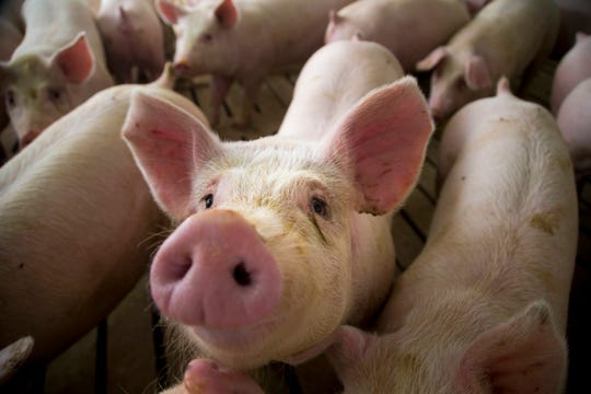 The Japanese Farm Ministry says that so far, no African swine fever infections have been reported in the country and it is unlikely that food infected with the virus will cause an outbreak unless pigs are fed infected food