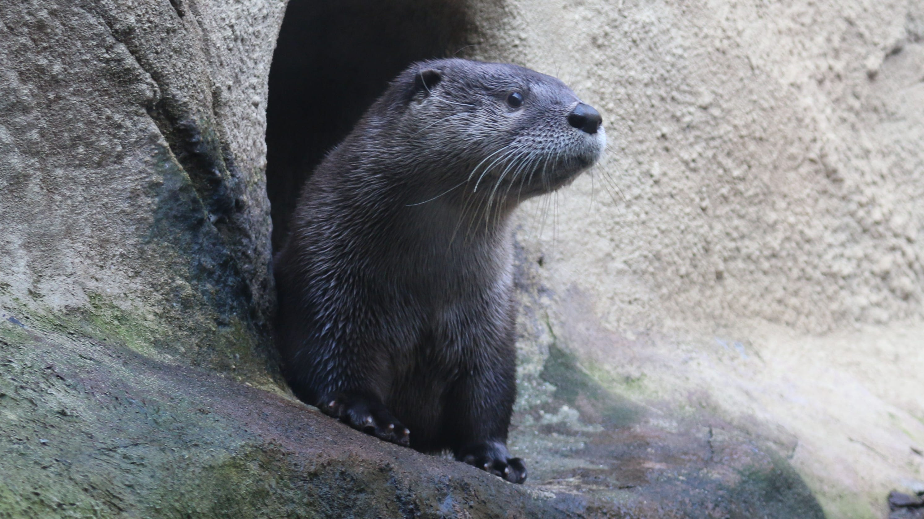 detroit zoo adds a rescued alaskan river otter