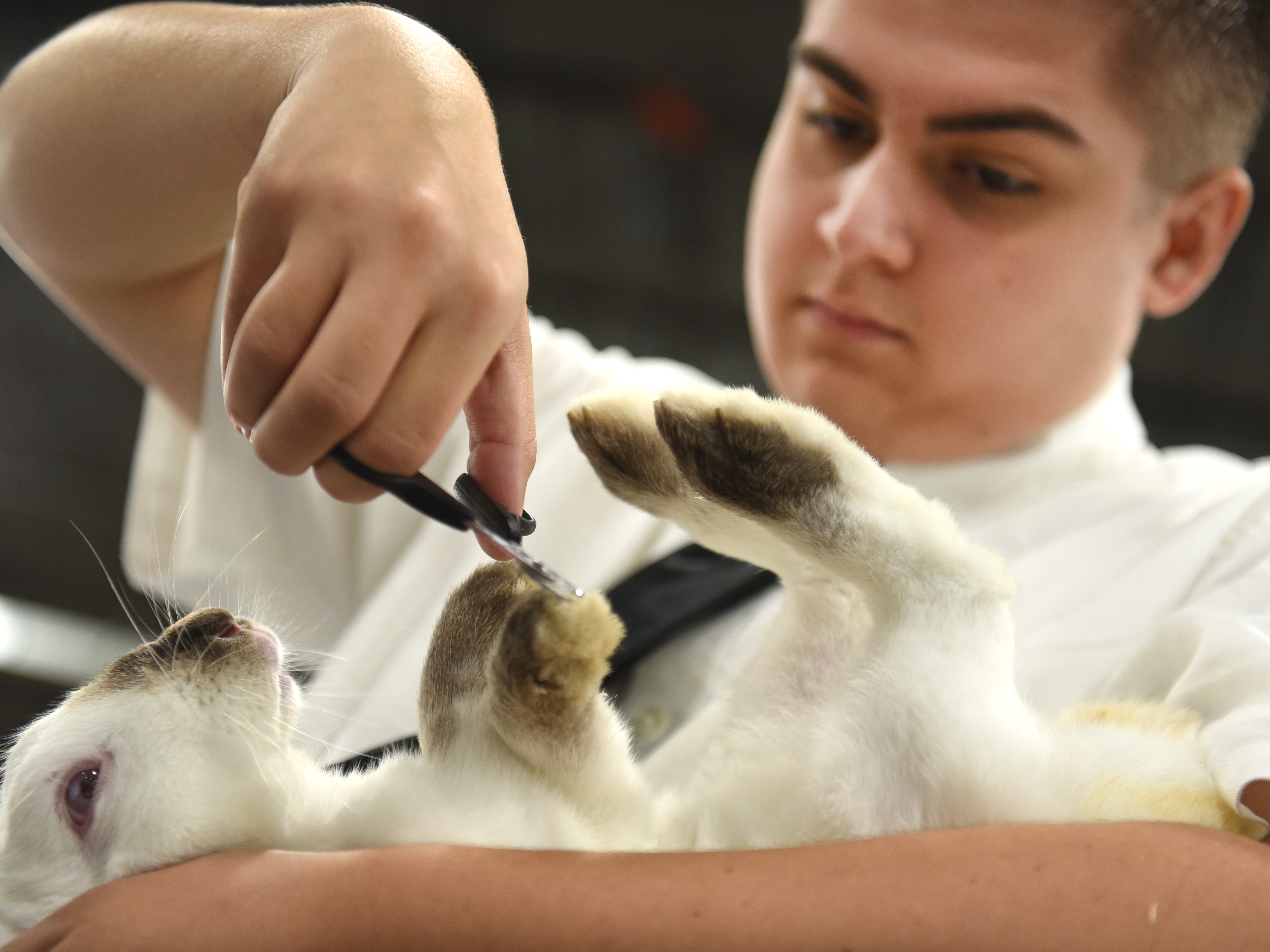 Dale Miss of Fowlerville trims the nails of his prized rabbit named Trump during the first day of the Michigan State Fair at the Suburban Collection Showplace in Novi on August 30, 2018.