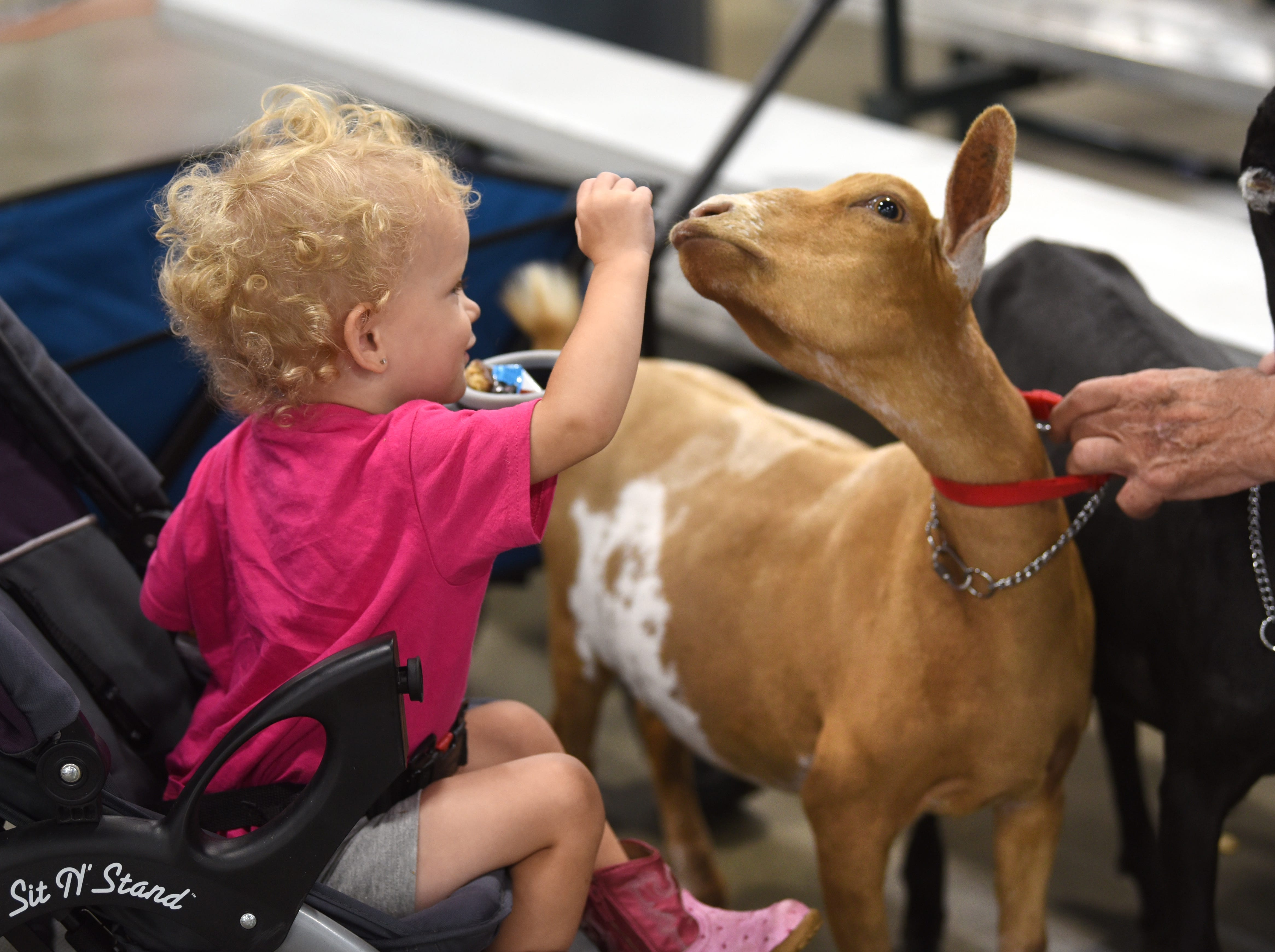 Addison Illian, 2, of Mount Morris, shares a moment with a Nigerian goat at the Michigan State Fair at the Suburban Collection Showplace in Novi on August 30, 2018.