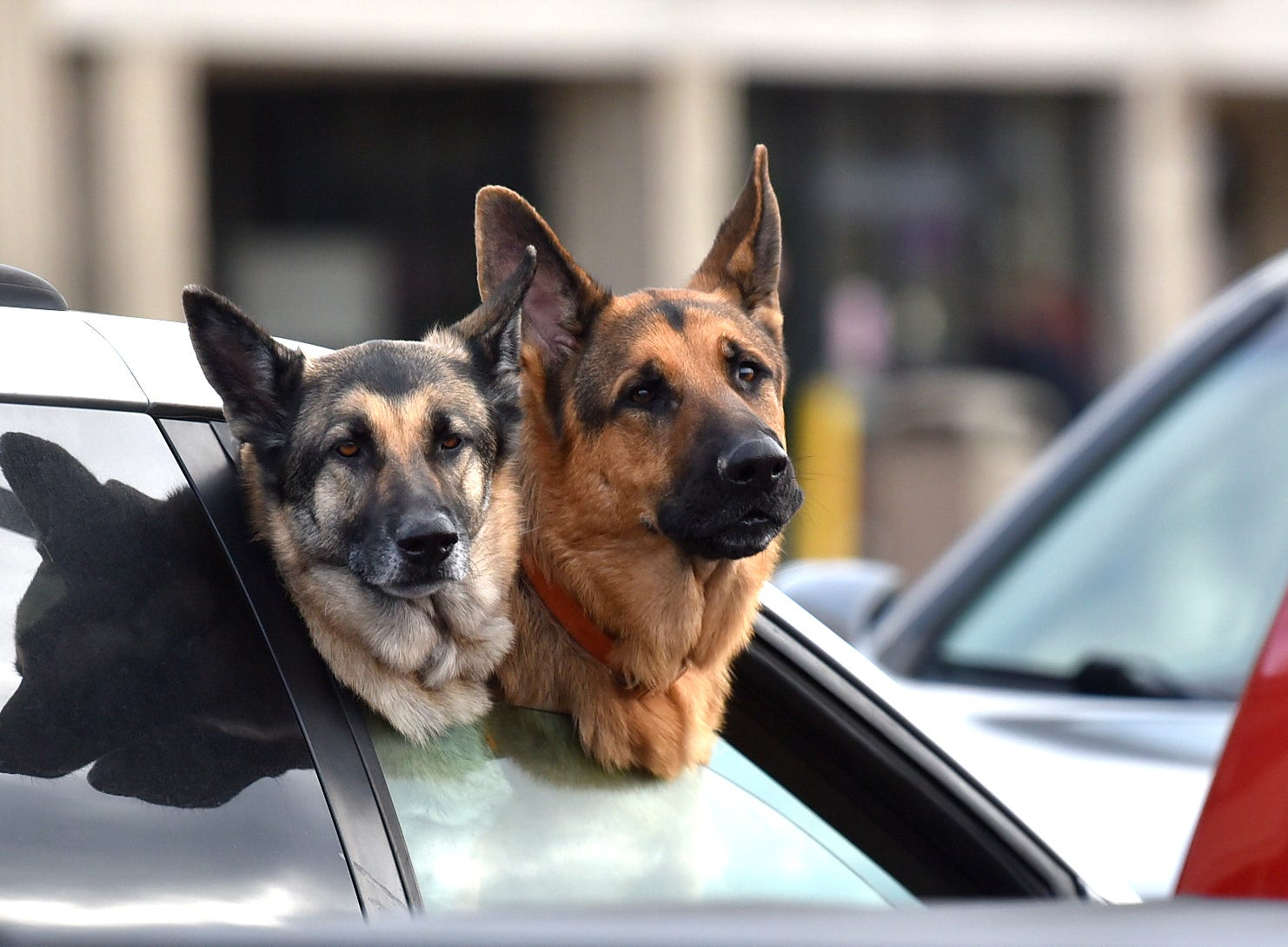 German Shepherds Lady, left, 5, and Bear, 2, wait for their owner, Jan Lojko of Almont,  to finish shopping at the Kroger grocery store in Imlay City on November 6, 2018.