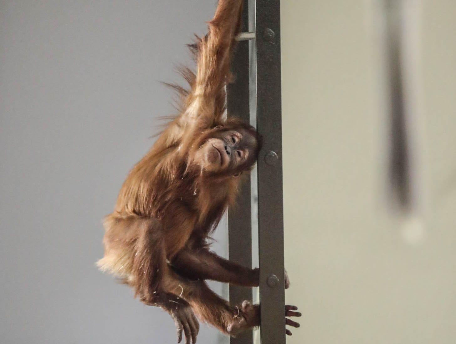 Mila, a two year old orangutan plays on a ladder in her enclosure during Christmas at the Indianapolis Zoo on Wednesday, Dec. 19, 2018.