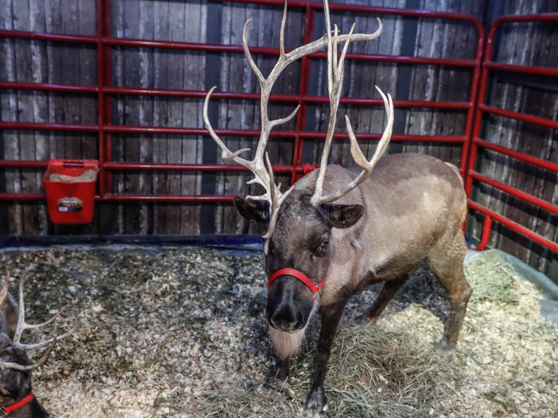 Two reindeer visit with guests during Christmas at the Indianapolis Zoo on Wednesday, Dec. 19, 2018.