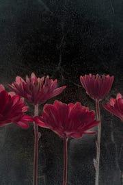Asters by Sam Stapleton