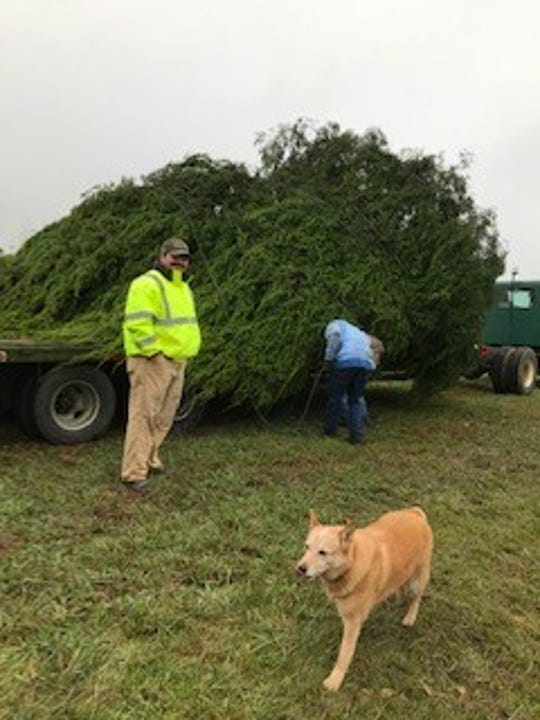 City officials load the Christmas tree from the Reynolds family farm onto the truck