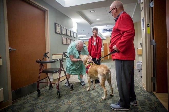 David Neff, followed by his trusty companion, Zeke, a hefty 3-year-old Labrador retriever walk through the halls of IU Health Ball Memorial Hospital to help cheer up staff and the occasional patient. Zeke is certified as a therapy dog with Therapy Dogs International as part of the hospital's comfort canines program.