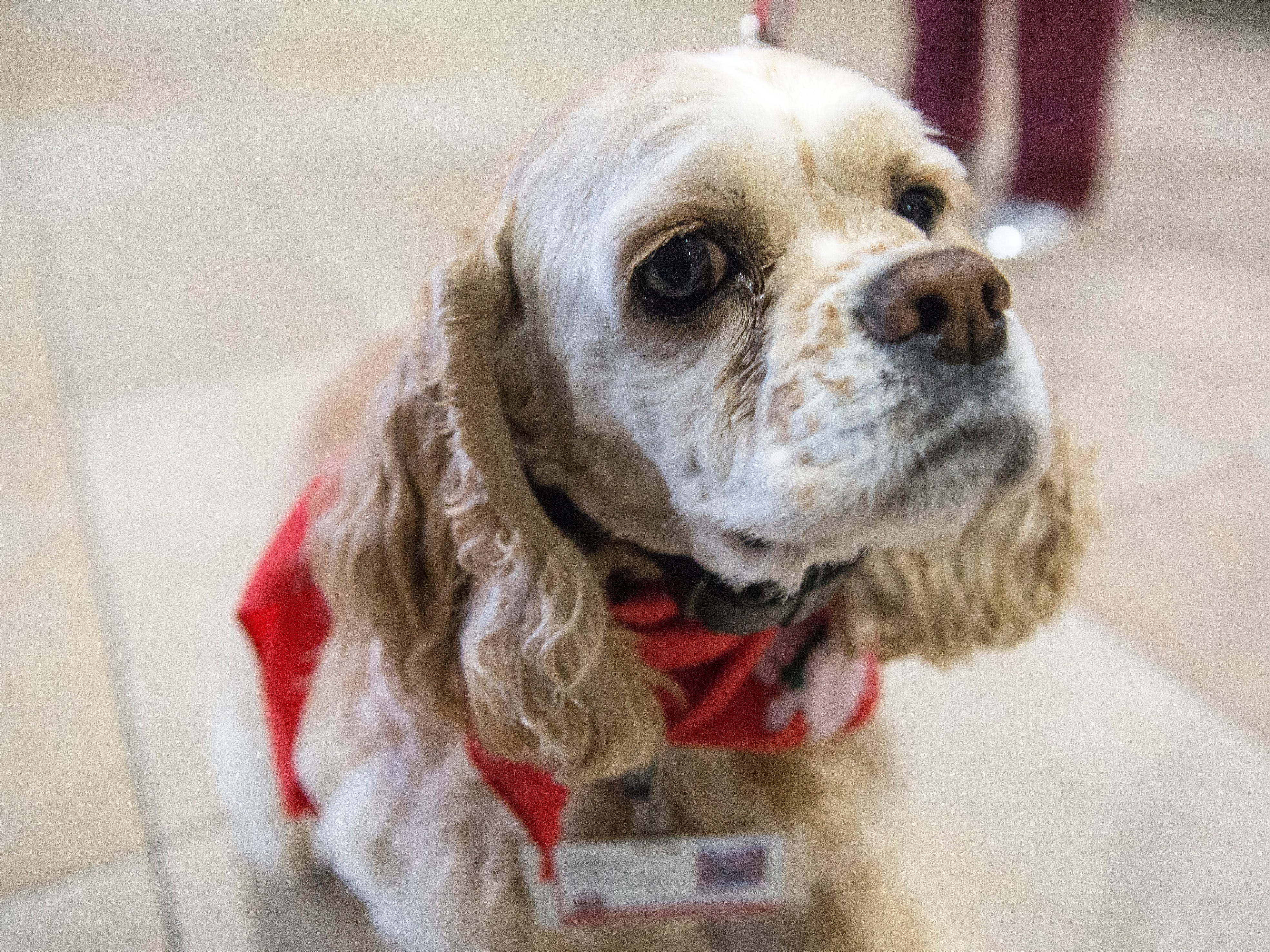 Barb Crawford's dog Cookie walks through the halls of IU Health Ball Memorial Hospital to help cheer up staff. Cookie along with other dogs are part of the hospital's comfort canines program.