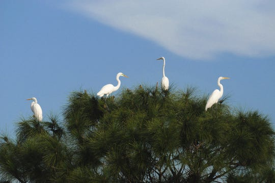 Great egrets perch atop a slash pine in Corkscrew Swamp Sanctuary.