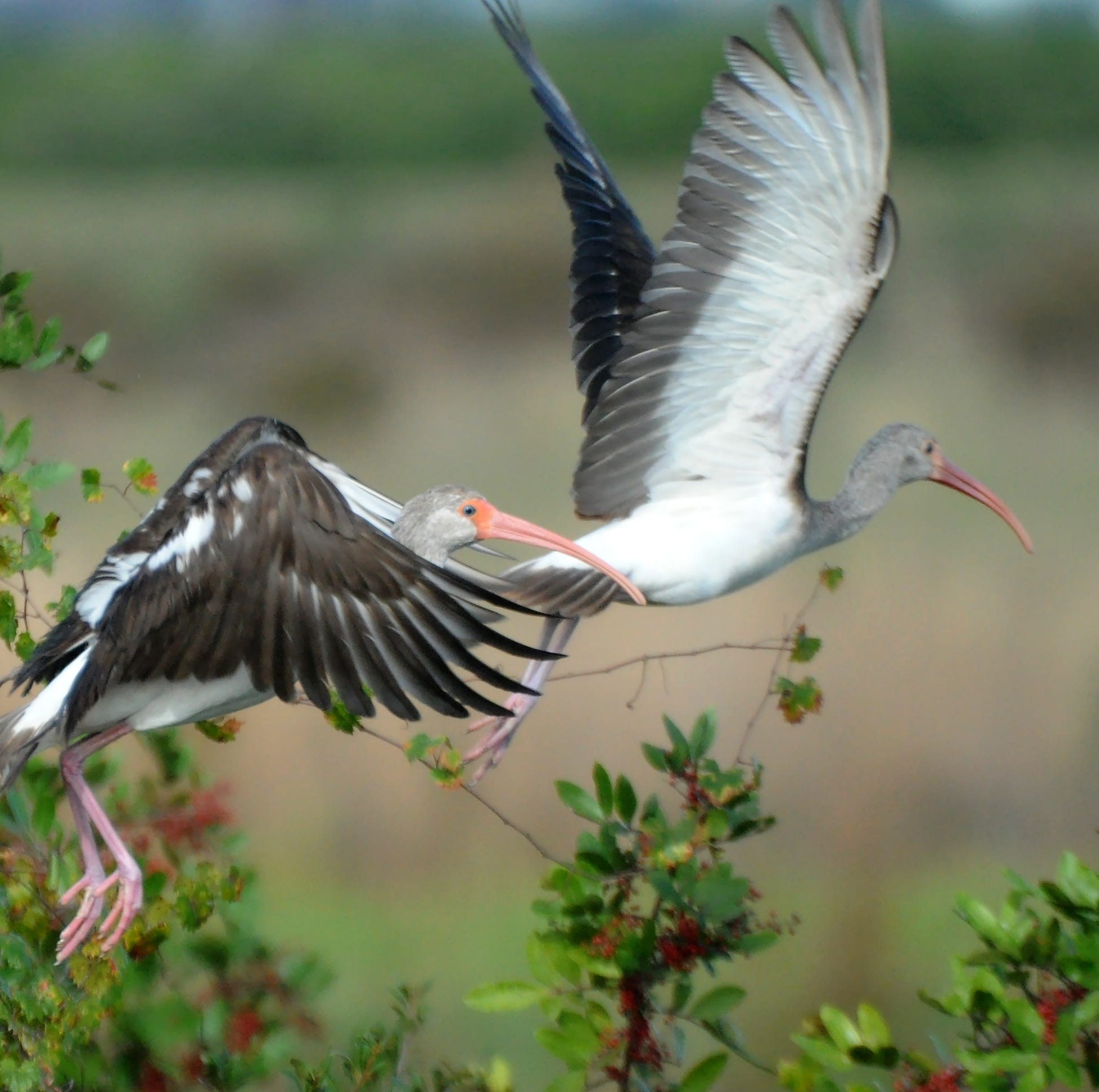 Immature white ibis take flight in Corkscrew Swamp Sanctuary.