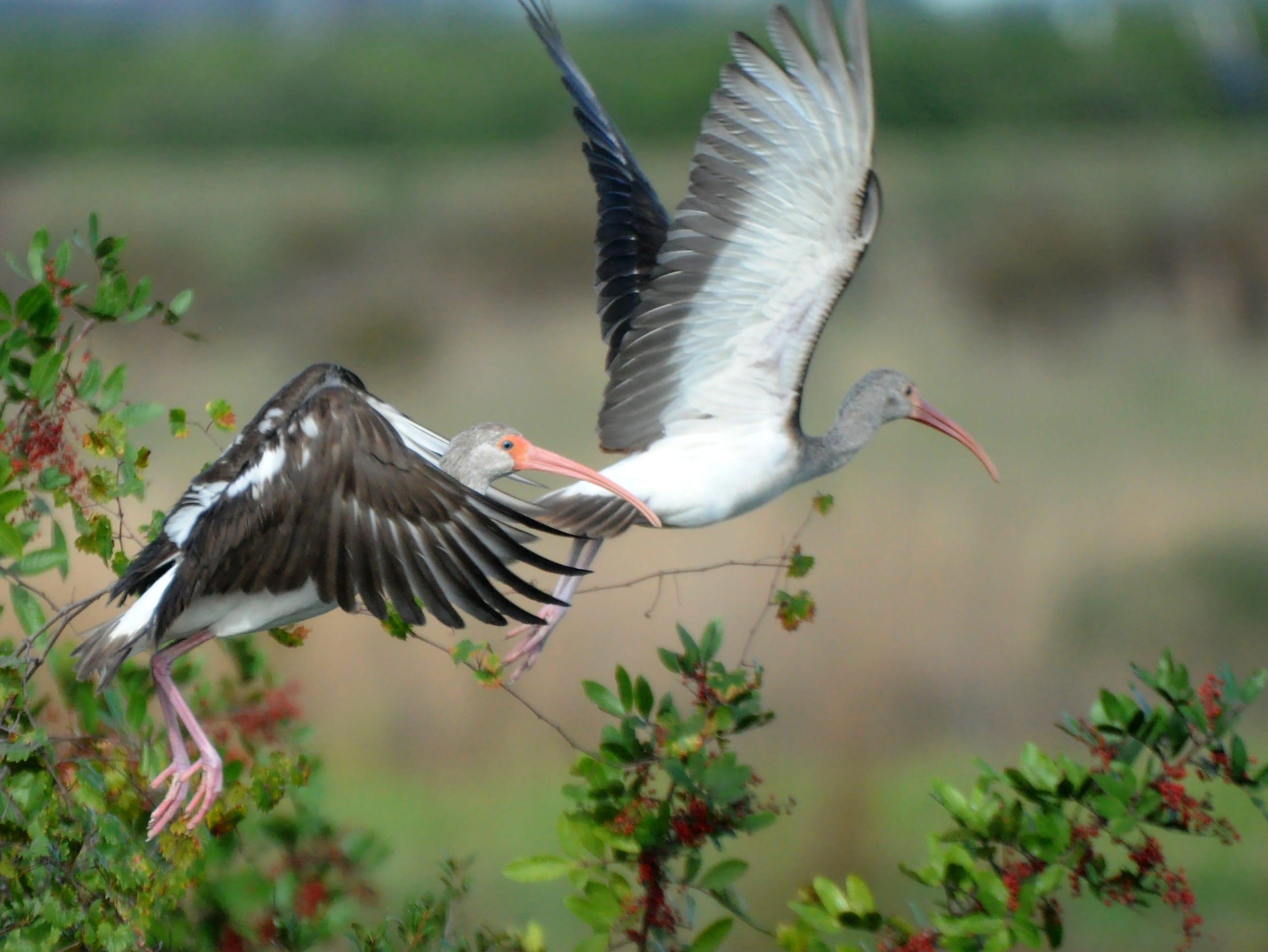 Immature white ibis take flight in Corkscrew Swamp Sanctuary.