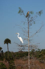 A great egret, left, and a red-shouldered hawk share the branches of a dwarf cypress tree in Fakahatchee Strand State Preserve.