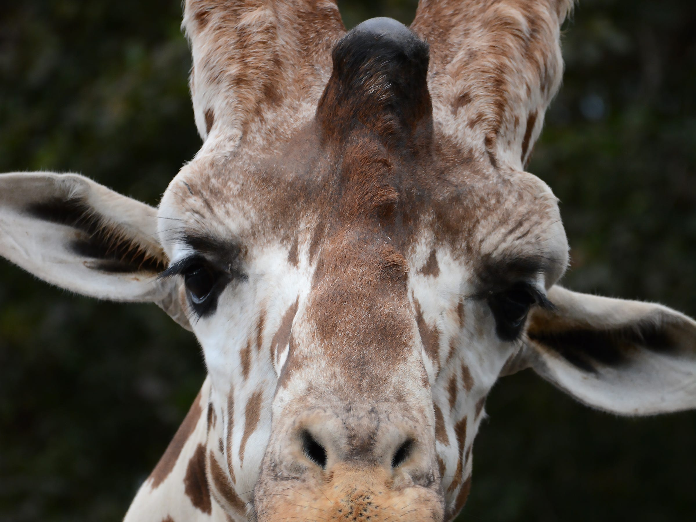 At 17 feet, reticulated giraffe Jumanji is the tallest creature at the Naples Zoo.