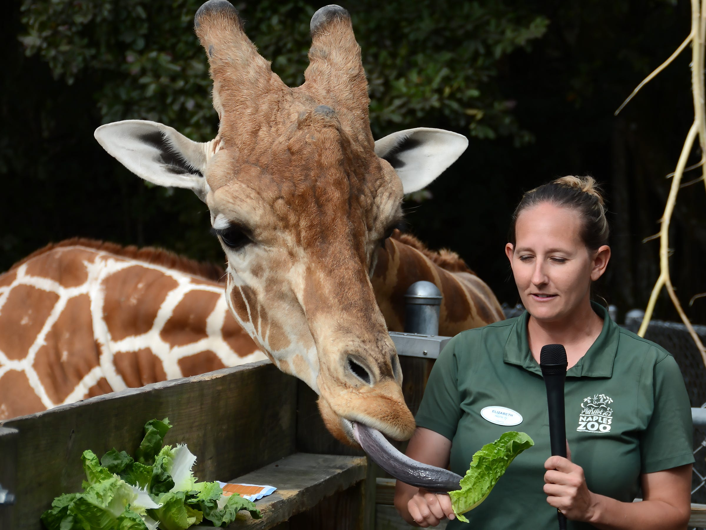 Naples Zoo giraffe-wrangler Elizabeth Johnson speaks to children in schools, as Jumanji sticks out his tongue at the Naples Zoo.