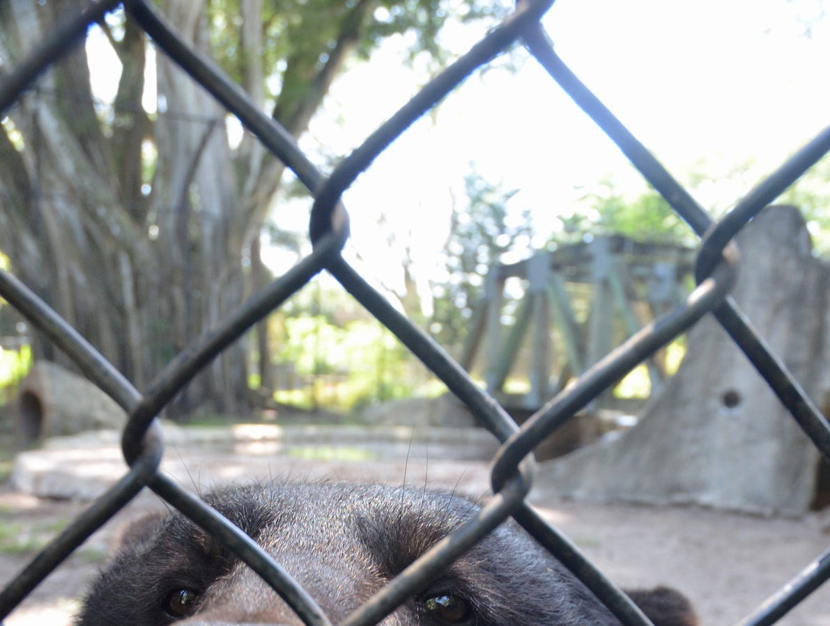 Toby, a 435-pound male black bear at Naples Zoo, comes over to take a closer look from his enclosure.