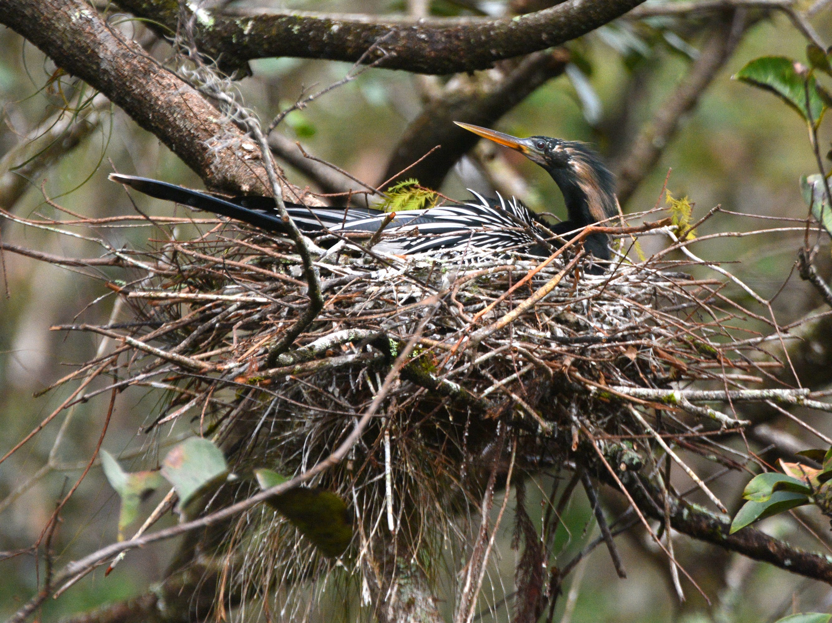 """A male anhinga sits in its nest near the boardwalk at Corkscrew Swamp Sanctuary. An """"early bird"""" birdwatching walk is just one of many ways to experience the natural beauty of Corkscrew Swamp."""