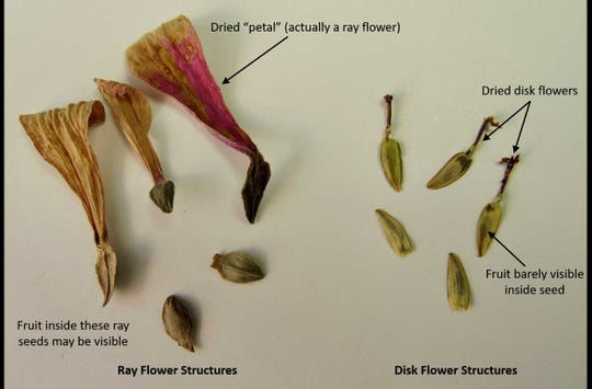 Ray vs. disk flower structures