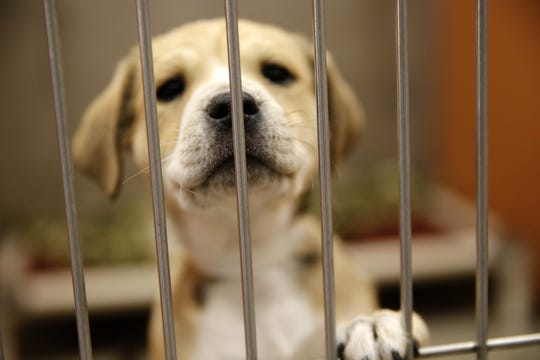 A puppy is seen in a kennel, Thursday, Dec. 20, 2018, at Farmington Regional Animal Shelter.