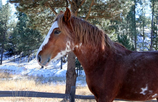 Stallion from the Alto wild herd stops briefly at a ranch north of Ruidoso.