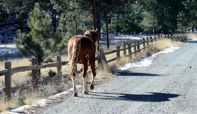 A lone stallion from one of the Alto wild herds trots along a road north of Ruidoso.