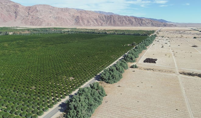 The citrus groves of Seley Ranches spreads out across 400 acres in the desert next to the town of Borrego Springs.