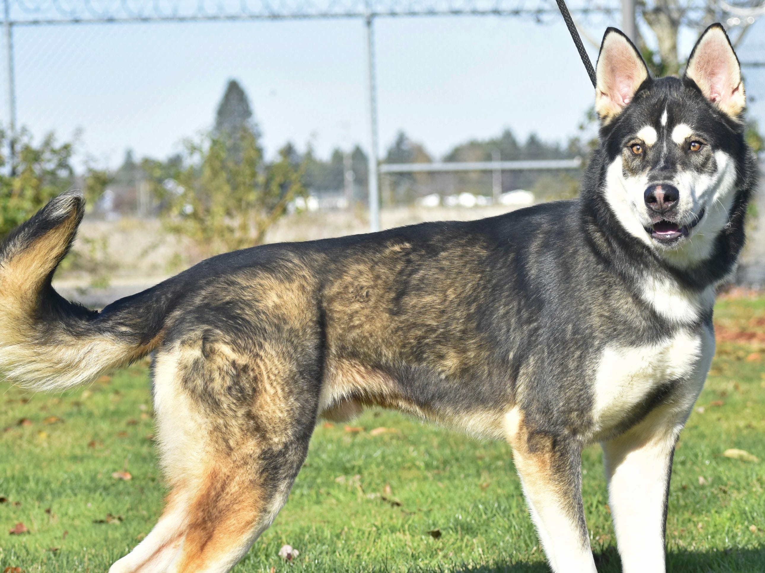 Mowgli is a 2-year-old male neutered Alaskan malamute mix. He is part of Marion County Dog Shelter's special adoption event through Saturday, Dec. 22, where the adoption fee equals the day of the month. Mowgli can be adopted for $19 on Dec. 19, $20 on Dec. 20, and so on. Purchase of a one-year license is required. Adoption hours are Tuesday through Saturday, 10 a.m. to 4:30 p.m. For information, contact Marion County Dog Services at 503-588-5366 or go to www.MCDogs.net.