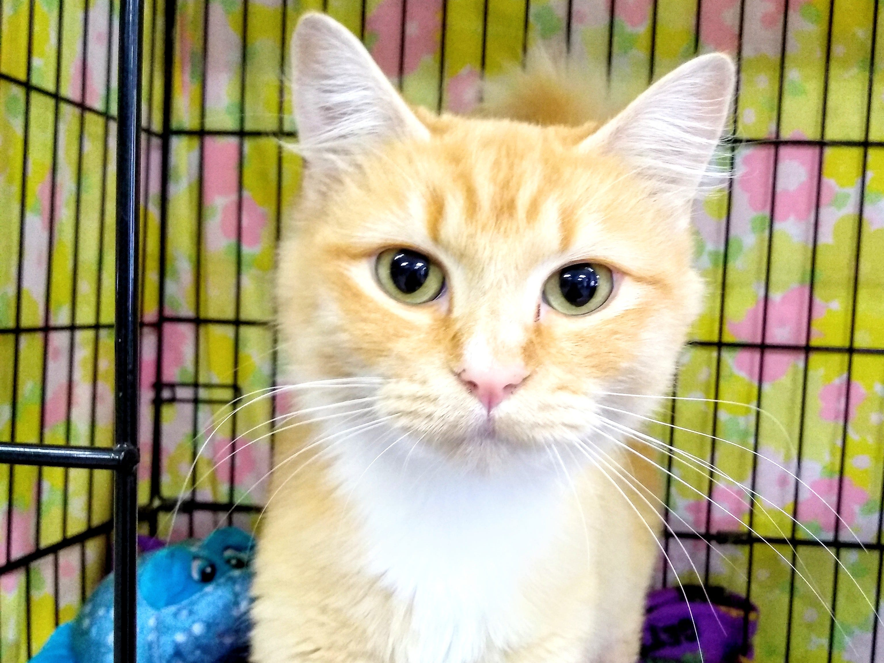 Creamsicle is a beautiful, friendly and affectionate 2-year-old cat. She has very soft fur and is active and energetic. Creamsicle would like a person or family with no other pets. For more information, visit www.sfof.org or call 503-362-5611.
