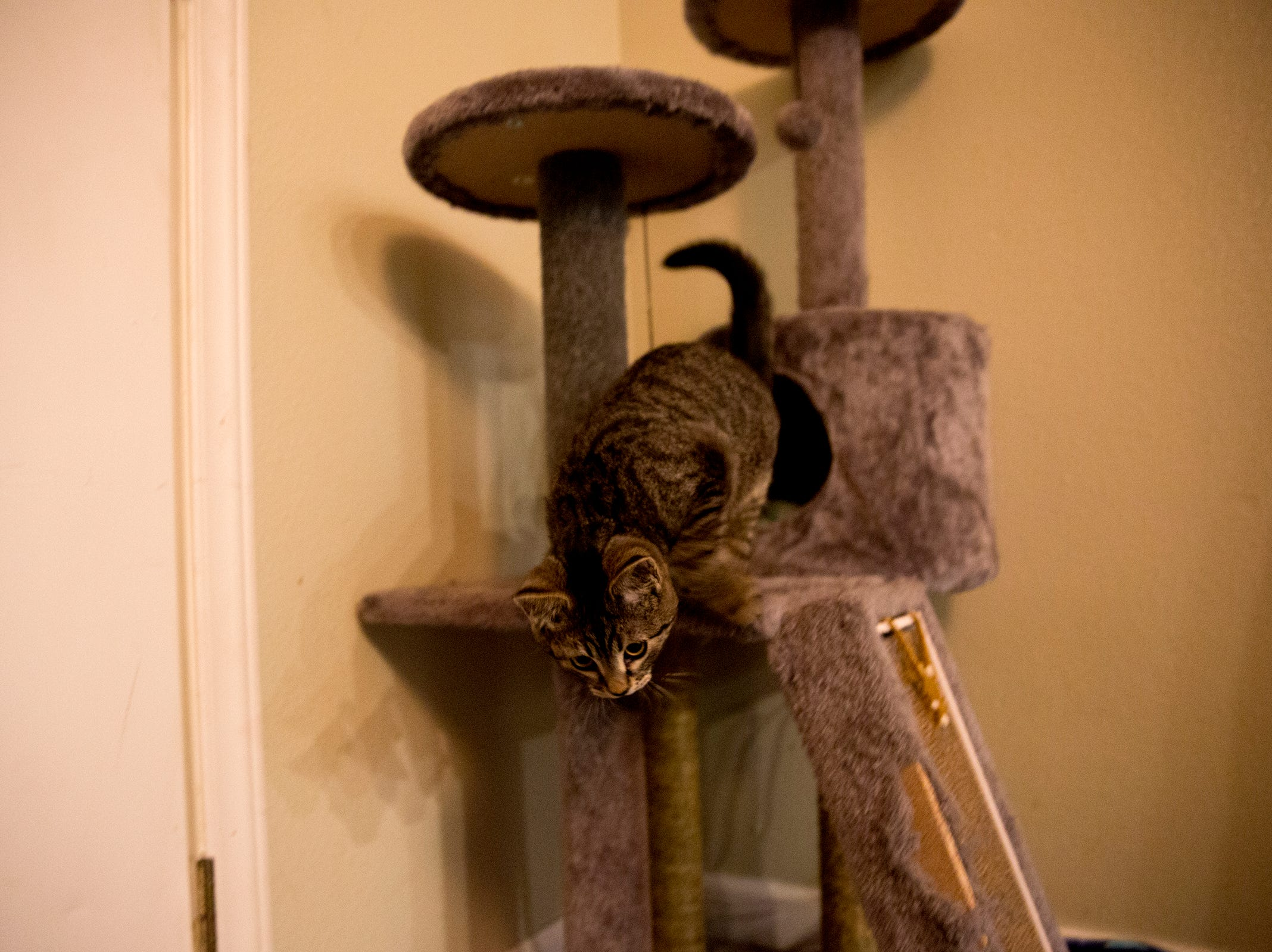 Sticky, a kitten who was rescued after being glued to the side of the road in October, plays on his cat tree in Silverton on Monday, Dec. 17, 2018.