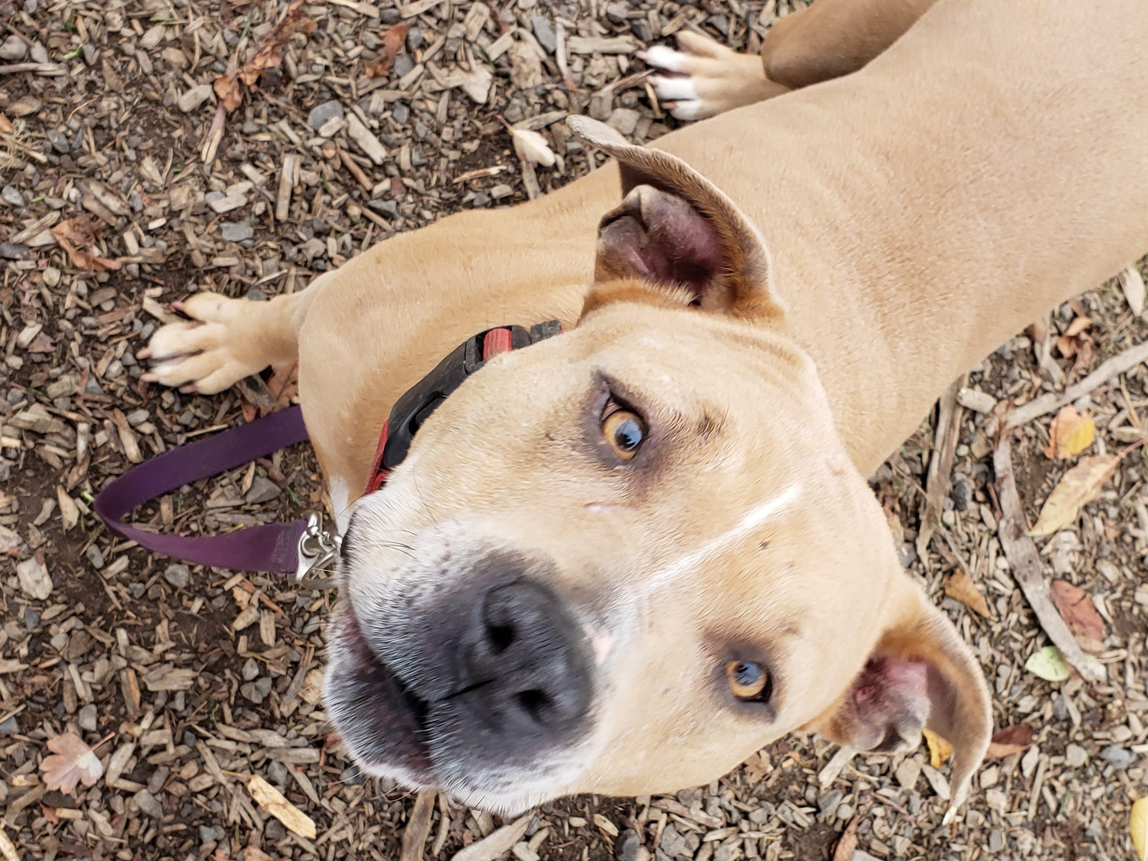 Windy is a 4-year-old female spayed pit bull mix. She is part of Marion County Dog Shelter's special adoption event through Saturday, Dec. 22, where the adoption fee equals the day of the month. Windy can be adopted for $19 on Dec. 19, $20 on Dec. 20, and so on. Purchase of a one-year license is required. Adoption hours are Tuesday through Saturday, 10 a.m. to 4:30 p.m. For information, contact Marion County Dog Services at 503-588-5366 or go to www.MCDogs.net.