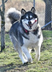 While a reader described a dog seen in an Asheville dog park as a wolf dog or wolf dog hybrid, police said the animal in question is actually an Alaskan Malamute, similar to the dog pictured here.