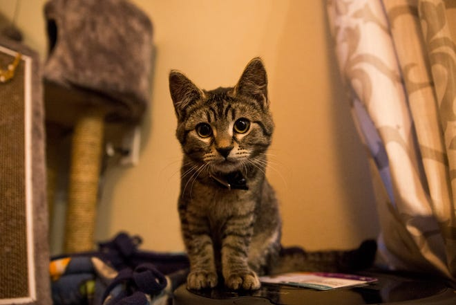 Sticky, a kitten who was rescued after being glued to the side of the road in October, in Silverton on Monday, Dec. 17, 2018. Sticky has received national attention and his owners have started a non-profit to help people and animals after his story went viral.