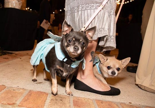 """Chihuahua sisters Blue and Neka, wearing angel wings, won the hearts of many at H.A.L.O. No-Kill Rescue's """"Love at First Bite"""" fundraiser at Magnolia Manor in 2018."""