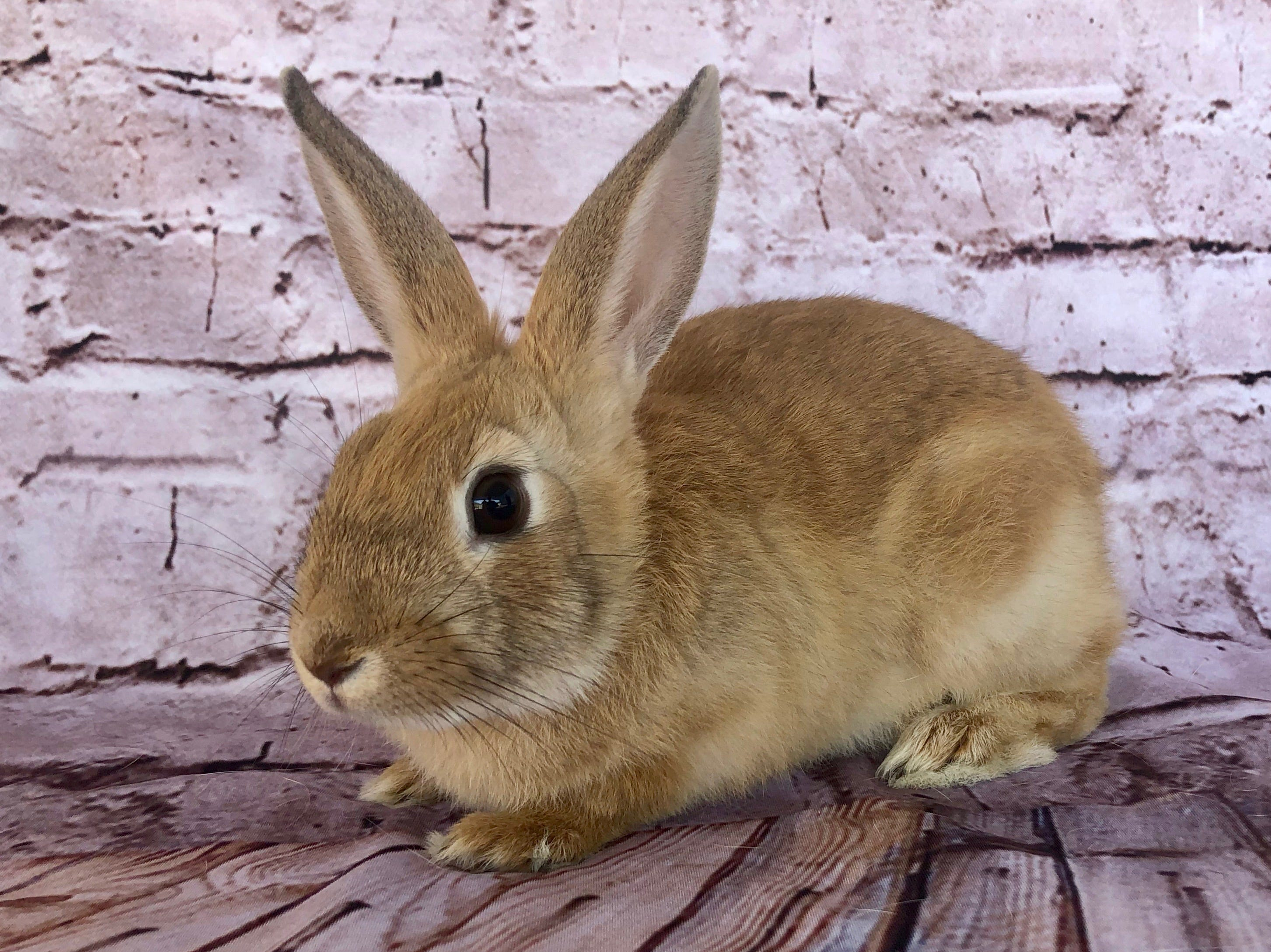 Adoptable Sophie is one of dozens of underage rabbits who came under the care of Ventura County Animal Services in 2018. So many baby bunnies arrive at the shelter after being bought on impulse and then discarded. The VCAS Bunny Brigade foster program provides a safe and loving temporary home for sweet little bunnies like Sophie until they are old enough to be spayed and neutered and can be made available for adoption. The Bunny Brigade provides education for potential adopters and offers all supplies for healthy indoor living at a reasonable cost. Visit the shelter at 600 Aviation Drive in Camarillo and ask for ID A697936 to meet Sophie and learn about the rewarding lifetime commitment of adding a house rabbit to your home. For details about adoption hours, offsite events, rabbit supplies, bunny nail trims and compatibility dates, visit facebook.com/VCASBunnyBrigade.